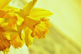 Bloom-Spring-Yellow-Blossom-Daffodils-Osterglocken-1257105
